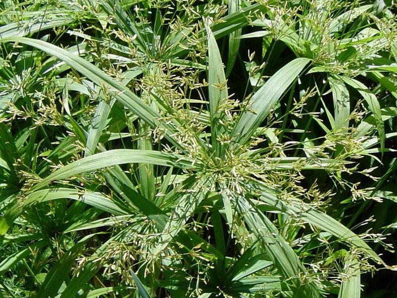 Cyperus (Циперус)