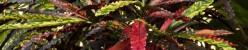 Codiaeum variegatum var. pictum (Кодиеум пестрый)
