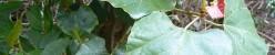 Rhoicissus capensis (Роициссус капский)