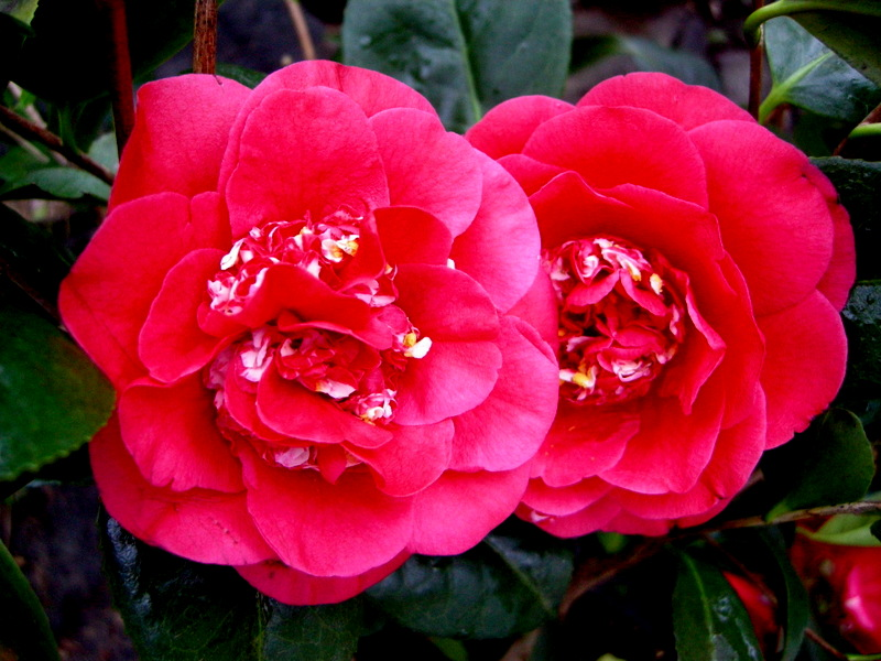 Camellia 'April Tryst'