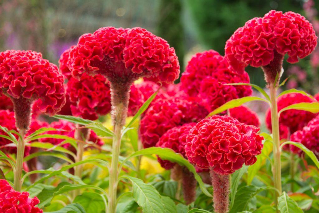 красные садовые цветы картинки с описанием меховые жилетки очень